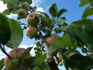 apples_pete_6