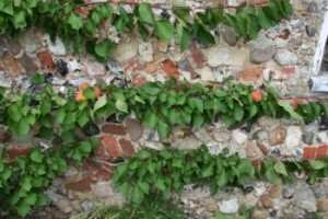 An apricot on a south-facing wall