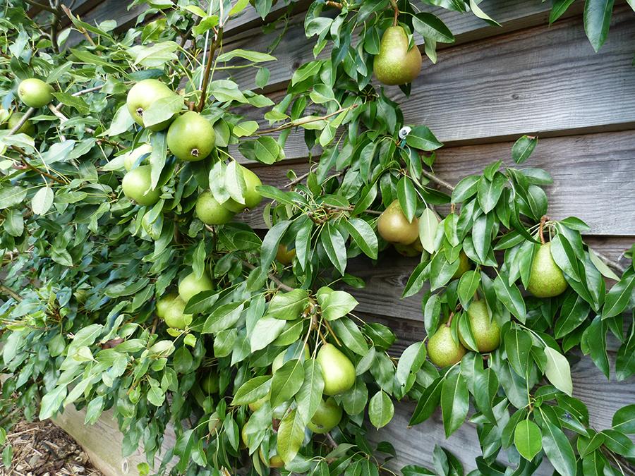 Pears grown as an espalier
