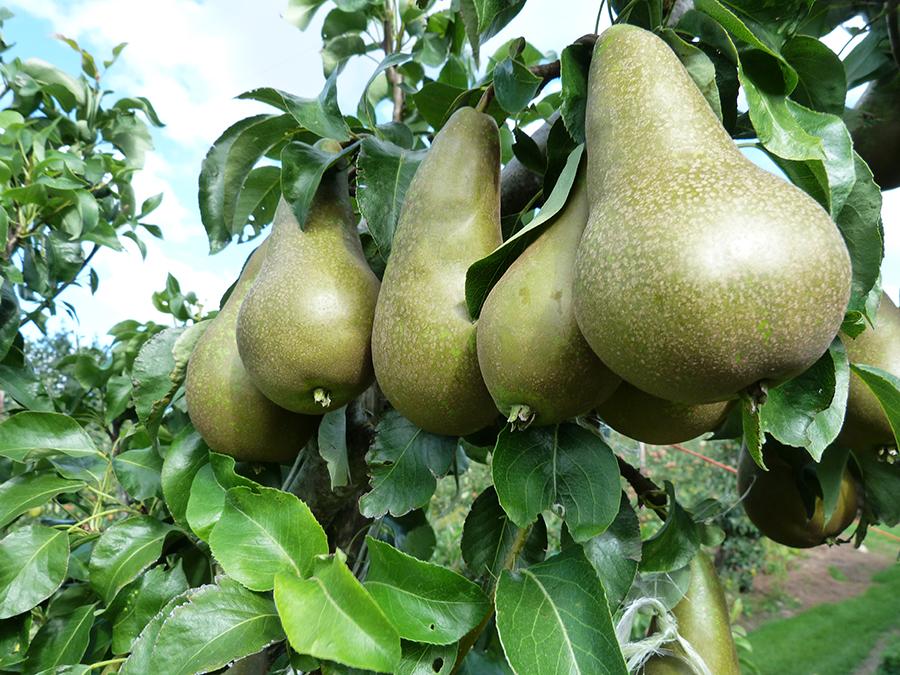 pears_pete_3