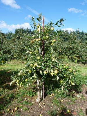 Pyramid shape apple tree