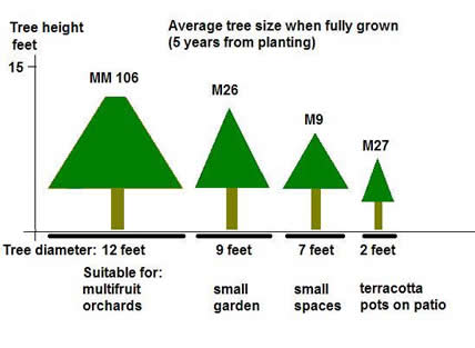 apple tree size and rootstock