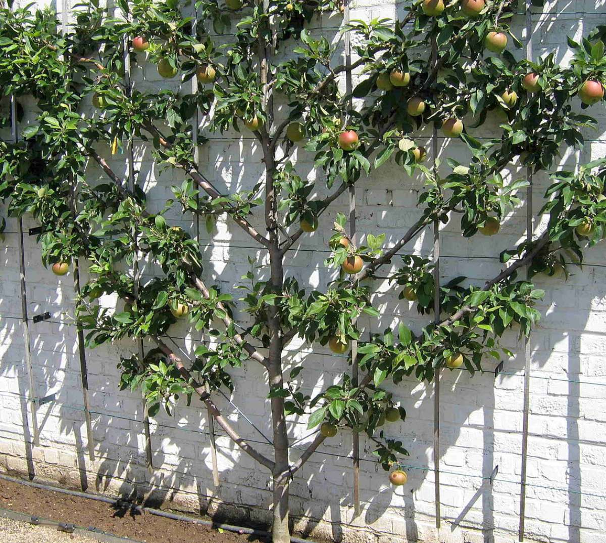 Fan-shaped fruit tree