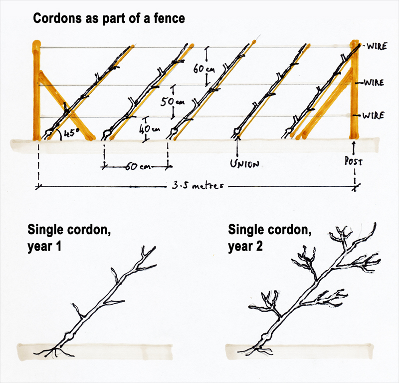 Cordon tree training