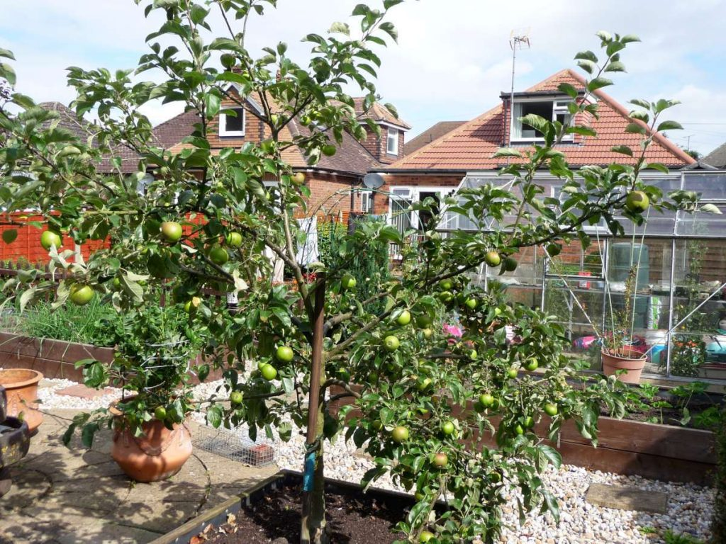 apple tree and brown rot