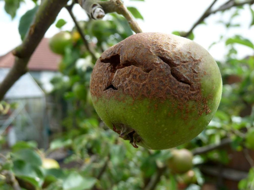 apple hail damage and brown rot
