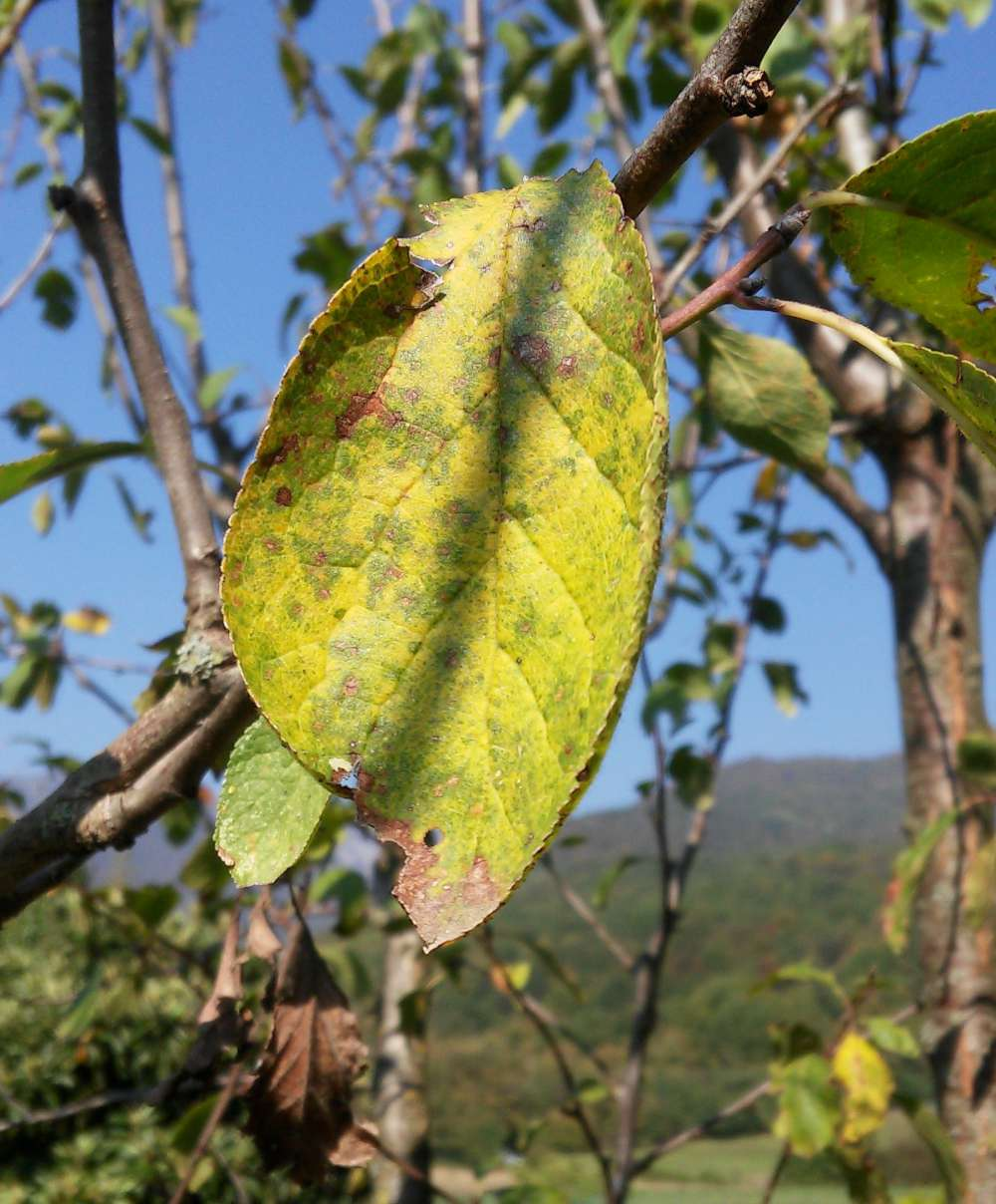 Fruit tree diagnostics yellowing leaf