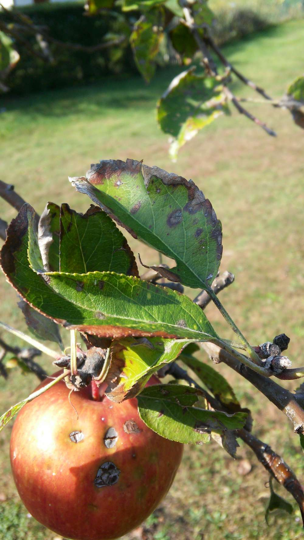 Fruit tree diagnostics leaf with brown edges and damaged apples