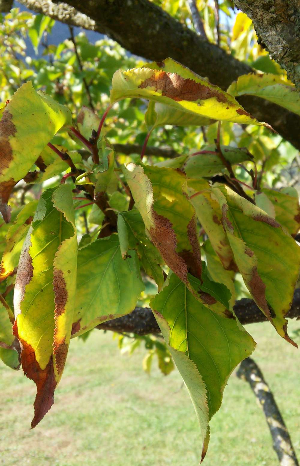 Fruit tree diagnostics yellowing leaves with brown edges