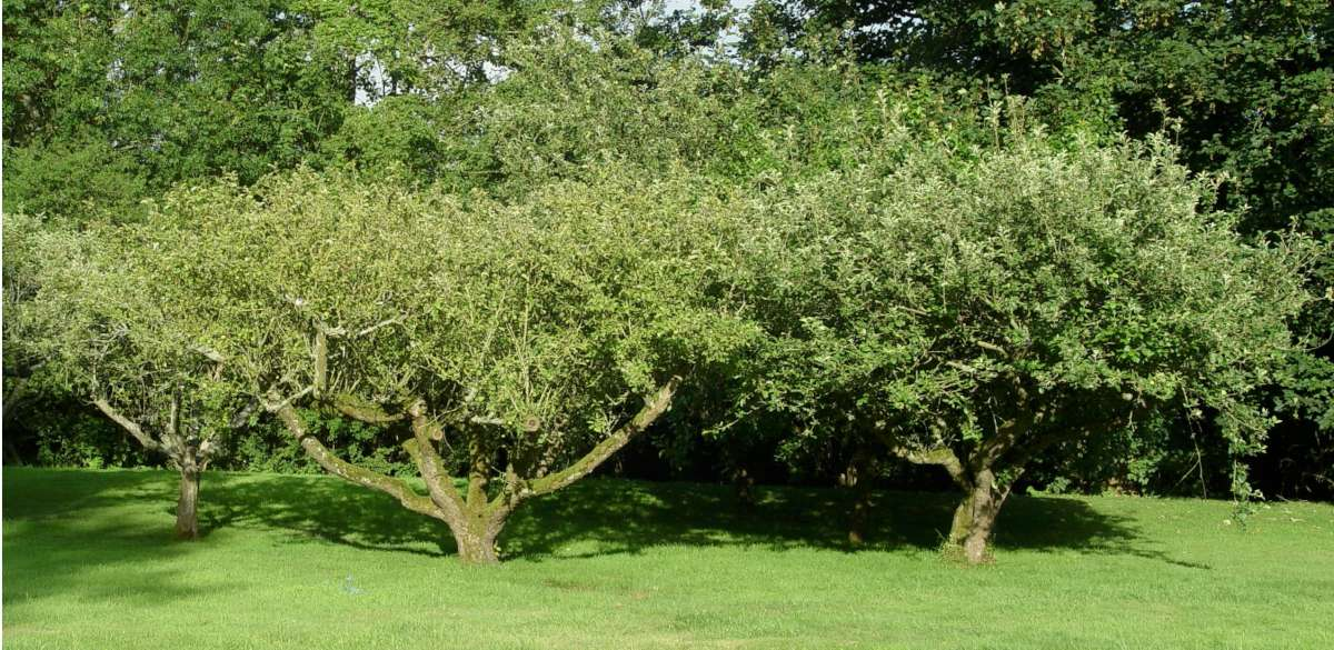 Traditional bush type apple tree
