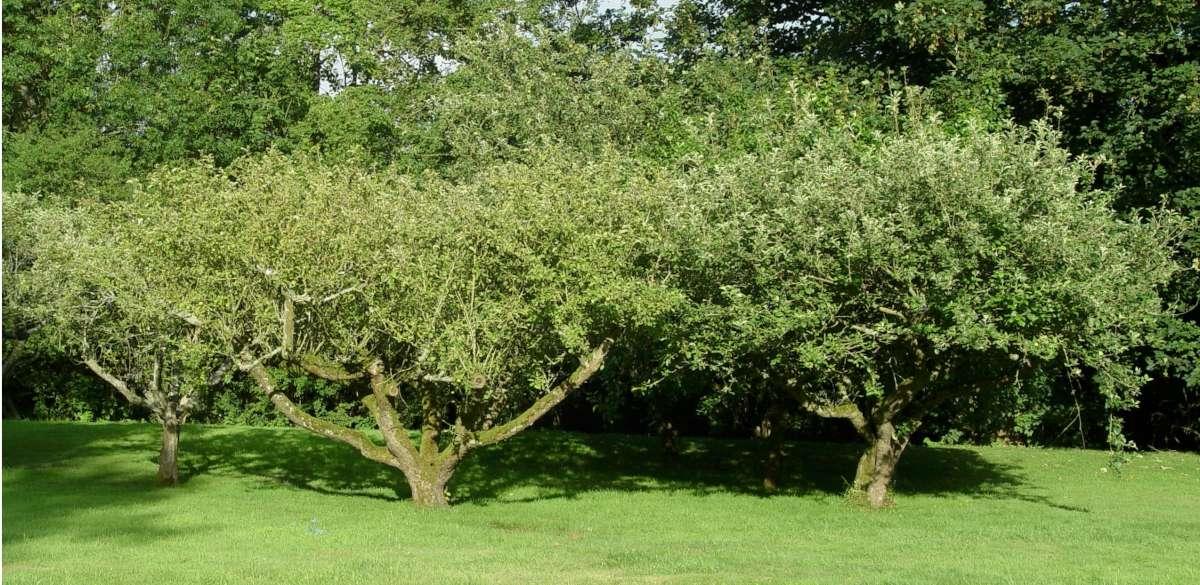 Traditional bush type apple tree