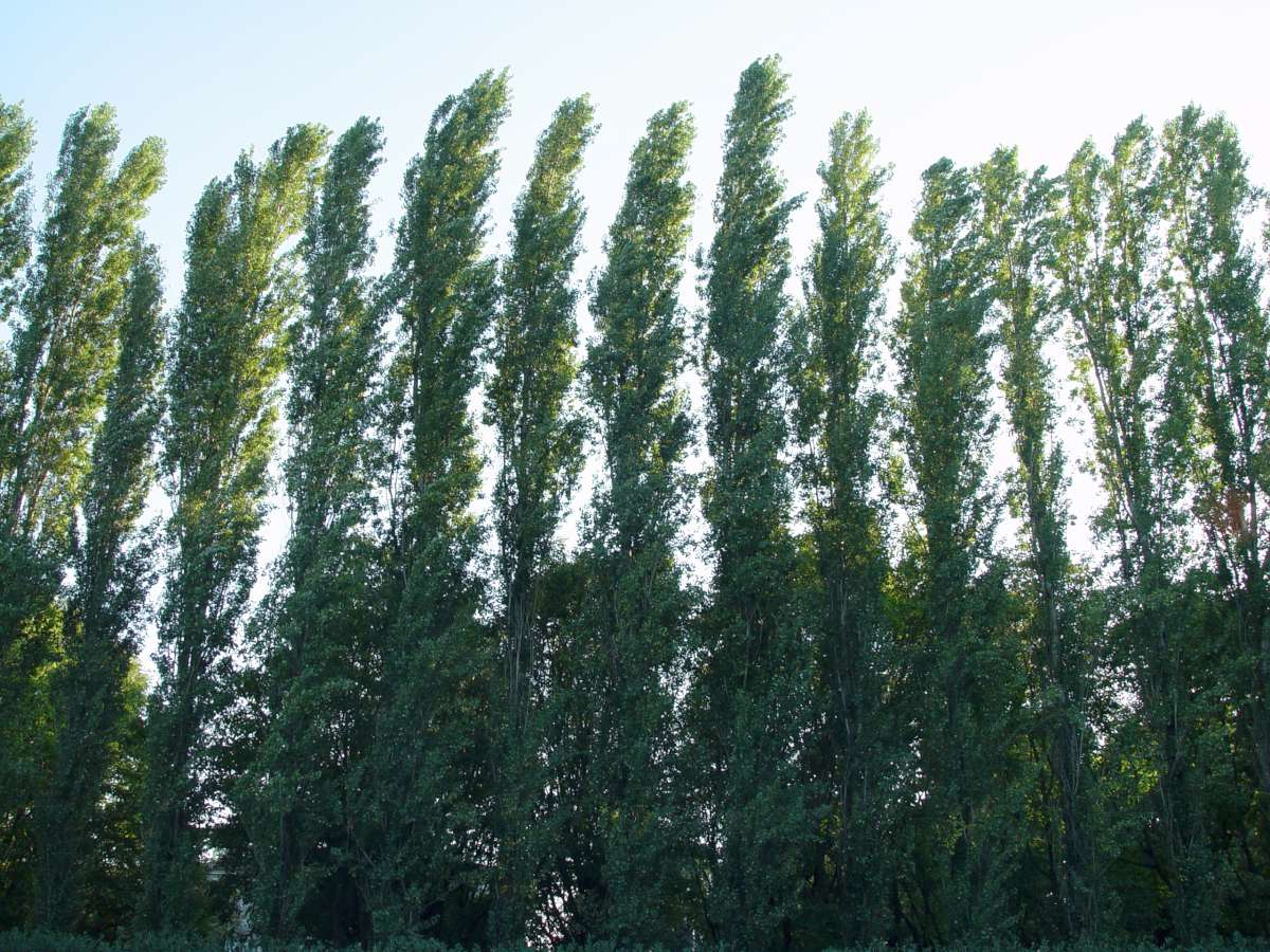 Poplar tree windbreak
