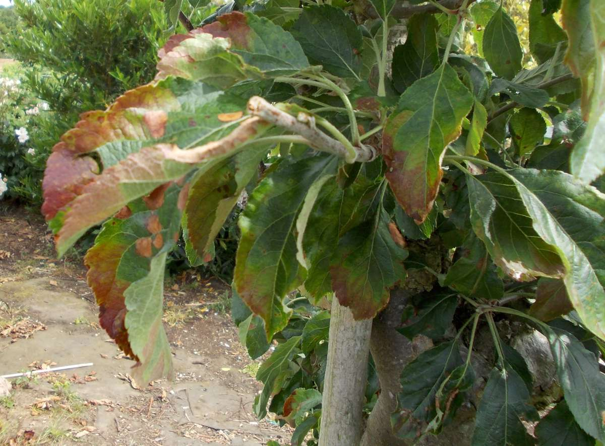 Fruit tree diagnostics leaf with brown edges