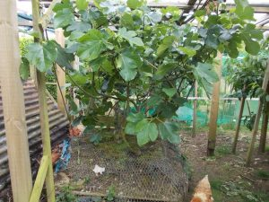Fig tree in container