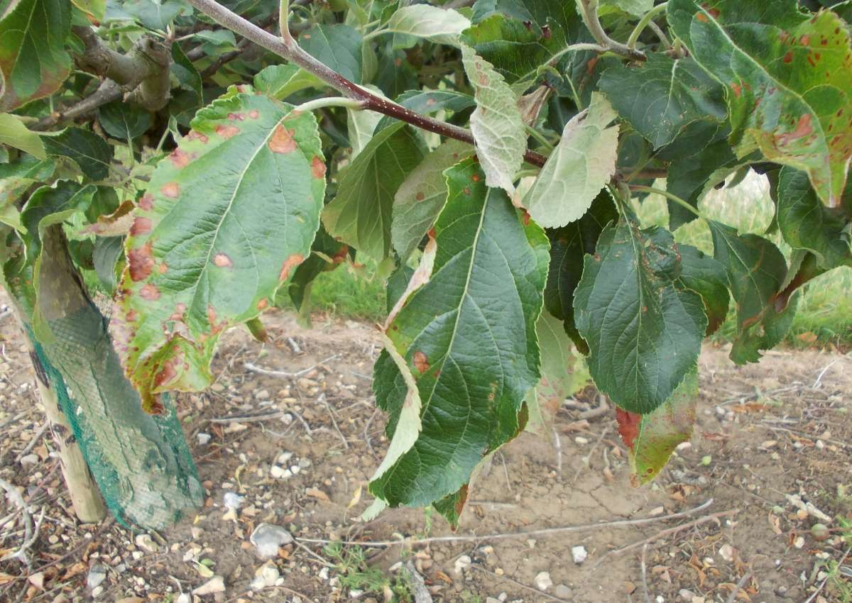 Apple Tree Leaf Disease Pictures