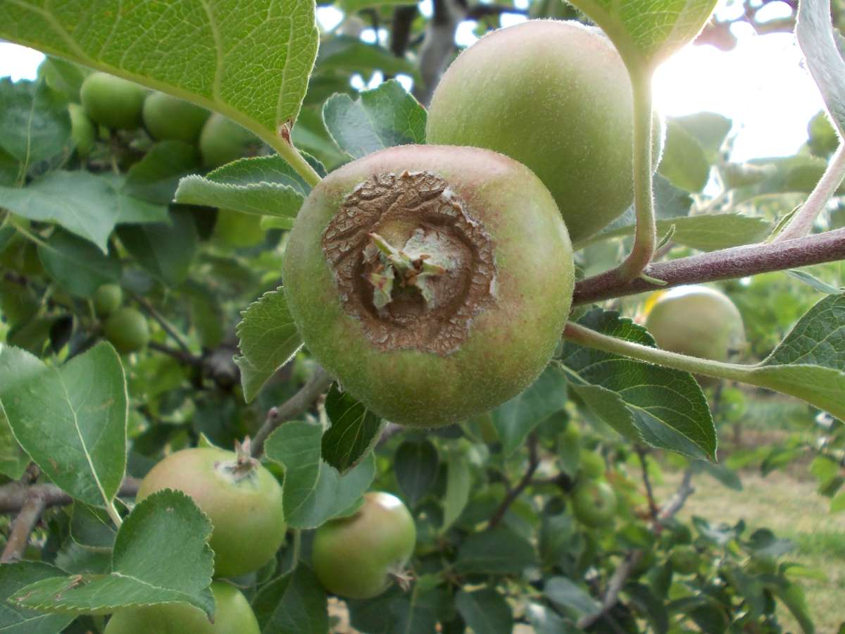 Fruit tree diagnostics damaged apples