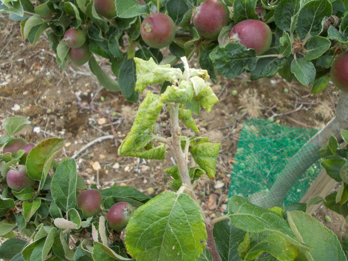 Apple Tree Curly Leaf Disease