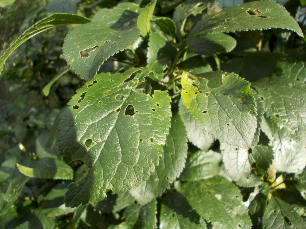 Fruit tree diagnostics leaves with small perforations and some turning yellow 2