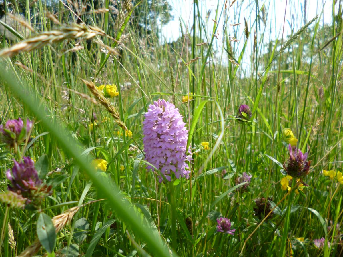 Pyramid orchid in a wildflower meadow