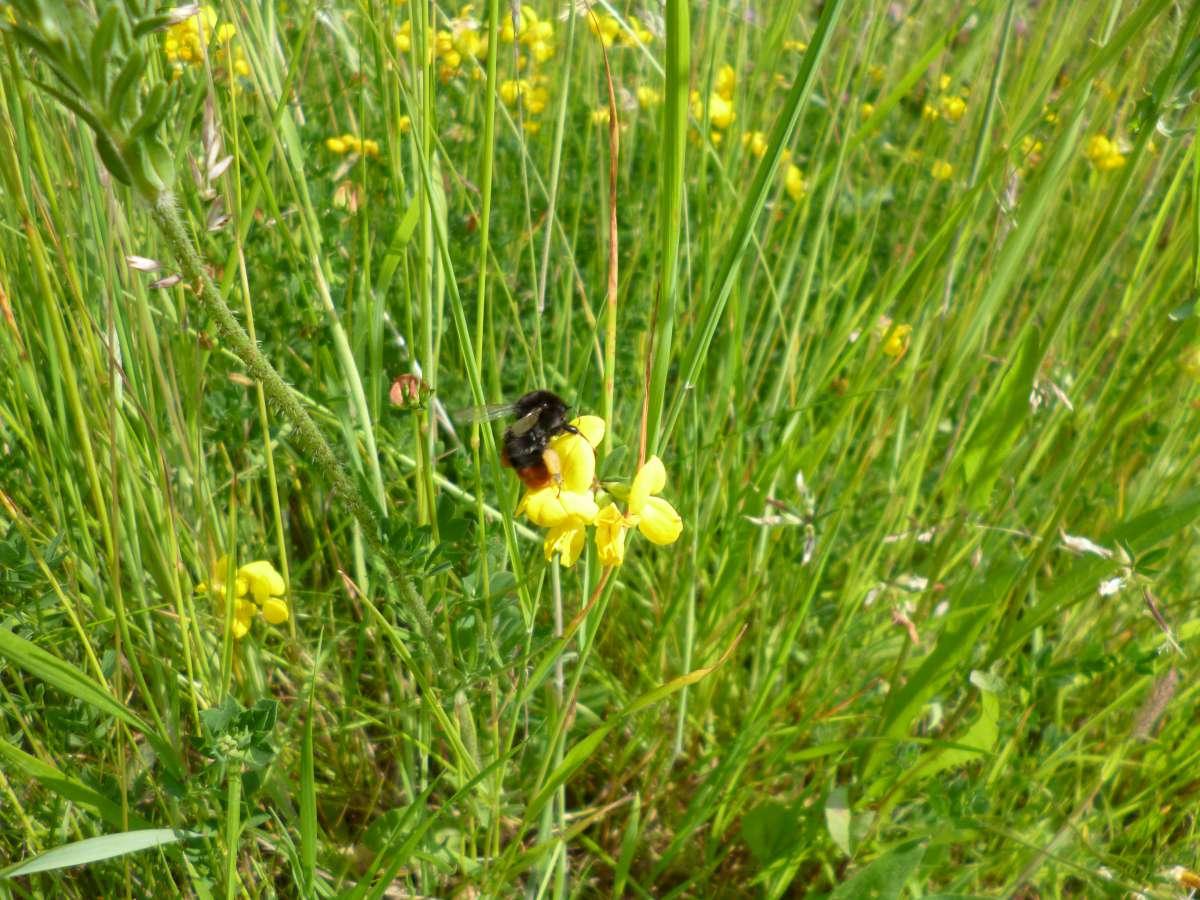 Yellow rattle in a wildflower meadow