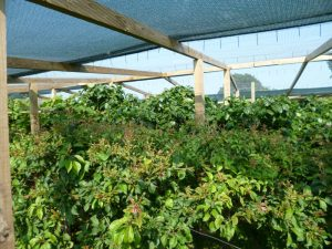 Netting over dwarf trees