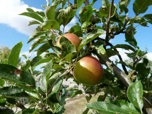 Apples ready for harvest