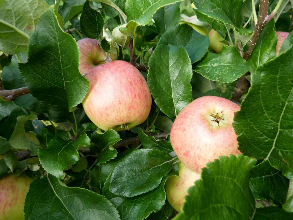 Apple, healthy leaves