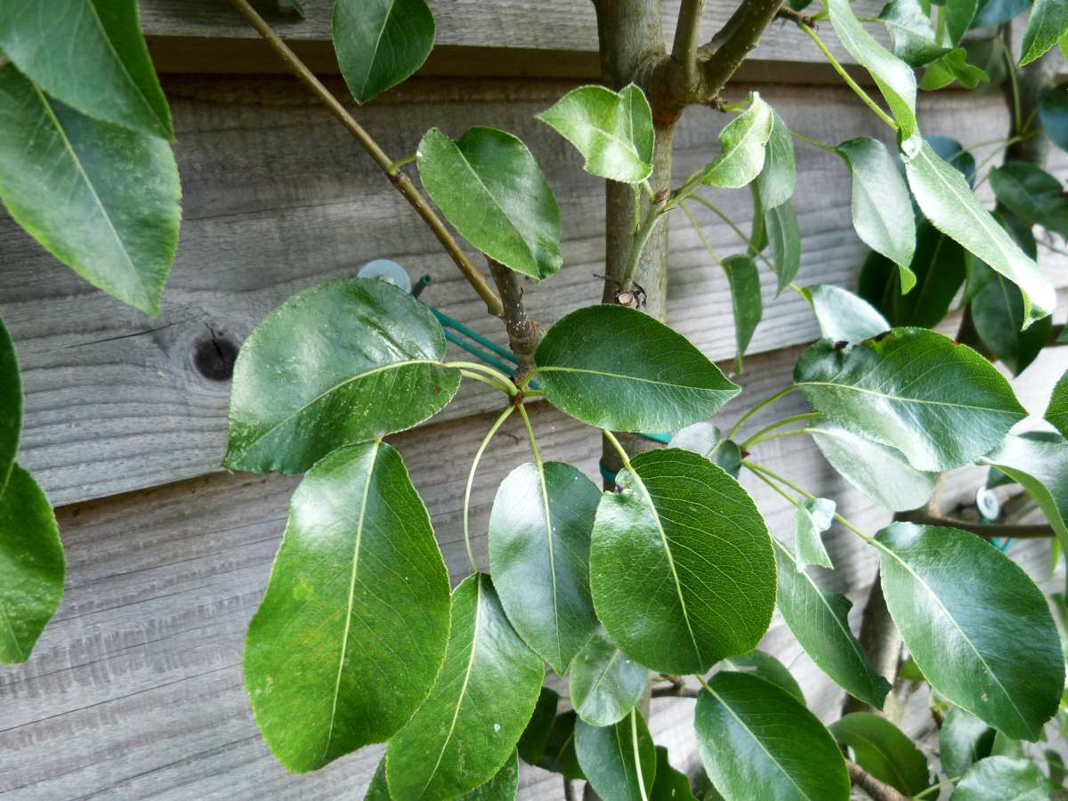 Pear, healthy leaves