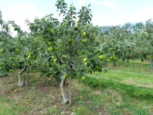 Cooking apple variety