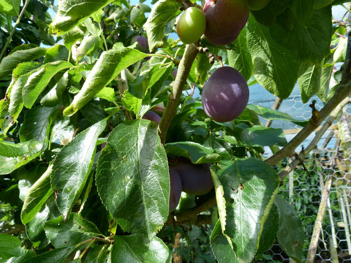 Plum, healthy leaves