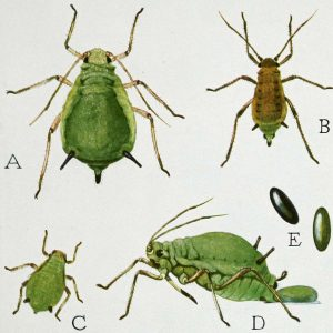 Aphis life cycle