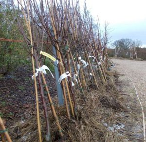 Trees heeled in with straw mulch