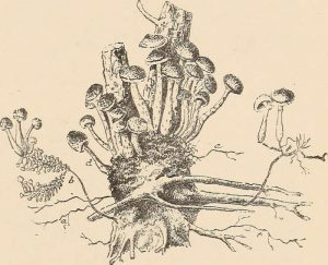 armillaria illustration