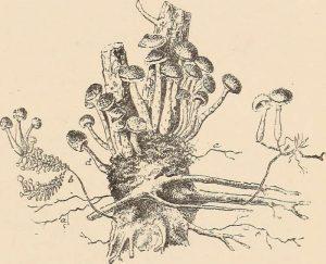 armillaria illustration