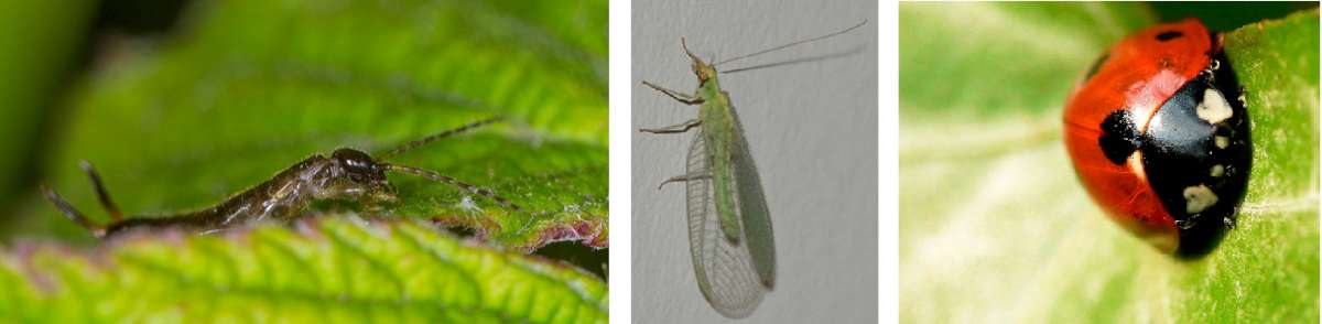 The goodies - earwig, lacewing, ladybird