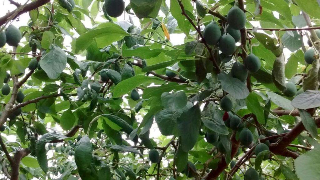 thinned damson