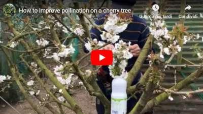 cherry tree pollination milk bottle