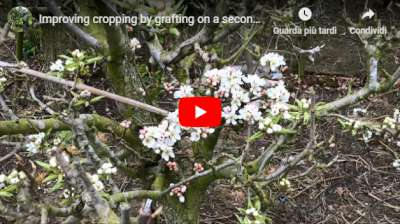 improving pollination by grafting a second variety