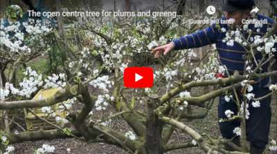 open centre tree plums greengages video