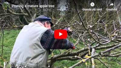Video Dan Neuteboom pruning a mature apple tree