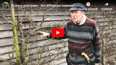 video pruning pear trees dan neuteboom