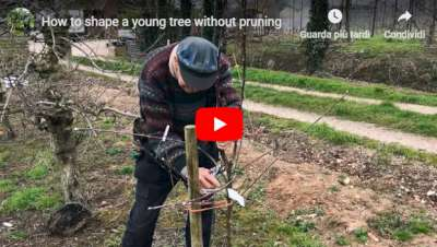 Video shaping a fruit tree without pruning
