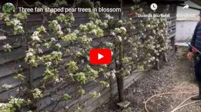 three pear trees blossom video
