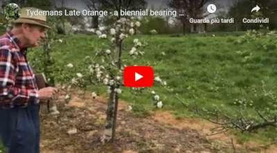 Tydemans Late Orange biennial bearing
