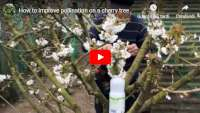how to improve cherry tree pollination milk bottle
