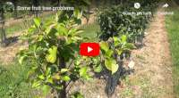 fruit tree problems aphids drought weeds rabbits