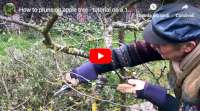 how to prune apple tree 10 year old tree tutorial
