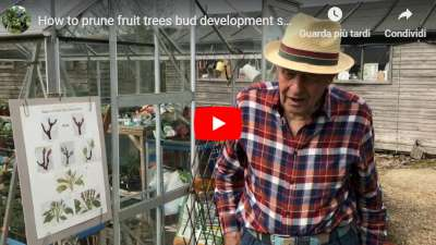 pruning fruit trees - stages in bud development video