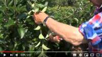 summer pruning apple tree