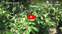apple trees summer pruning